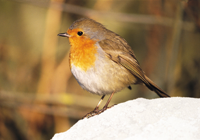 Robin_Red-Breast
