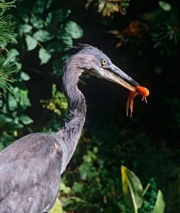Young grey heron plucks goldfish from garden pond